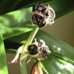 Comment semer des amaryllis